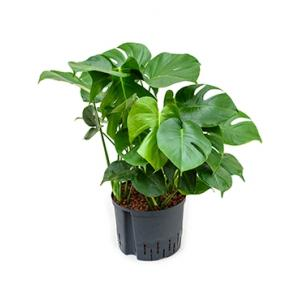 Monstera pertusem XL gatenplant hydrocultuur plant