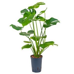 Monstera pertusem S gatenplant hydrocultuur plant
