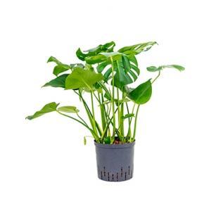 Monstera pertusem L gatenplant hydrocultuur plant