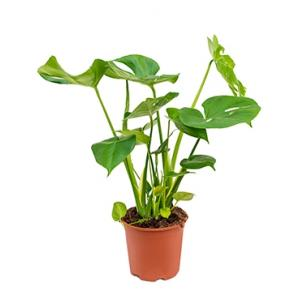 Monstera pertusem S gatenplant kamerplant