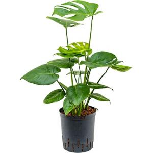 Monstera pertusem M gatenplant hydrocultuur plant