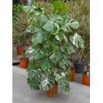 Monstera pertusem variegatum M gatenplant kamerplant