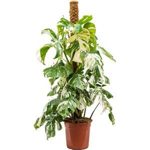 Monstera pertusem variegatum L gatenplant kamerplant