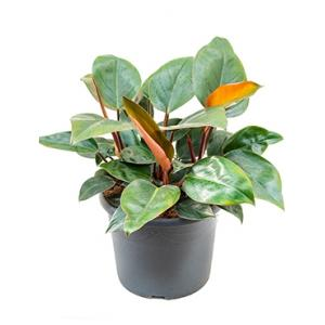 Philodendron red congo M kamerplant