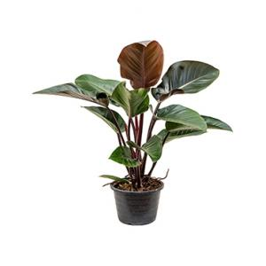 Philodendron red congo L kamerplant