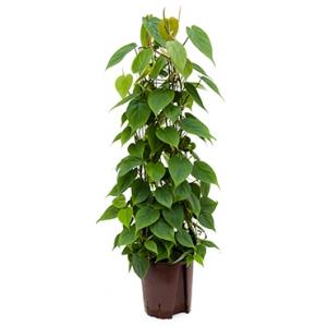 Philodendron scandens 80 hydrocultuur plant