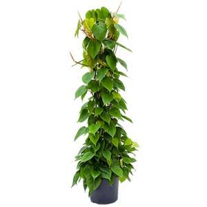 Philodendron scandens colomnae kamerplant