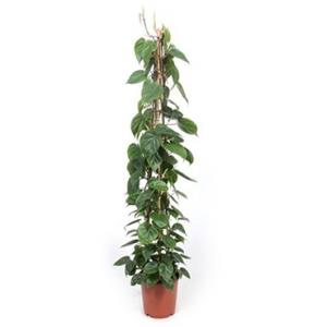 Philodendron scandens pyramis kamerplant