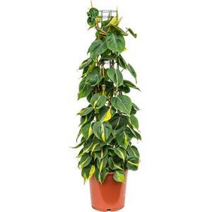 Philodendron scandens brasil colomnae M kamerplant