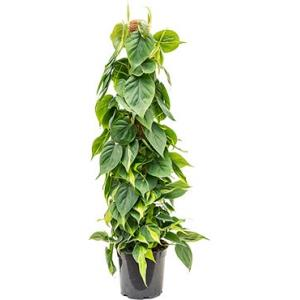 Philodendron scandens brasil mosstok 100 kamerplant