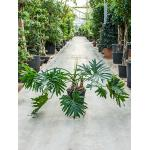 Philodendron selloum S kamerplant