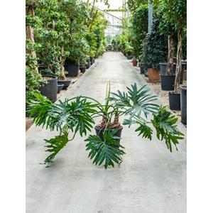 Philodendron selloum S kamerplant