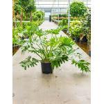 Philodendron selloum XL hydrocultuur plant