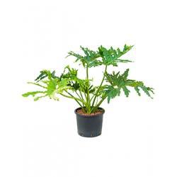 Philodendron selloum L hydrocultuur plant