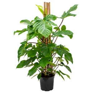 Philodendron squamiferum kamerplant