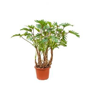 Philodendron xanadu XL kamerplant
