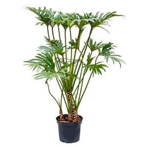 Philodendron xantal L kamerplant