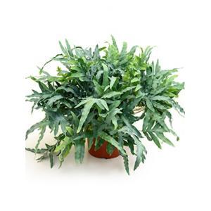 Dagaanbieding - Phlebodium blue star zinkvaren kamerplant dagelijkse aanbiedingen