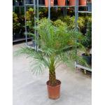 Phoenix Palm roebelenii kamerplant