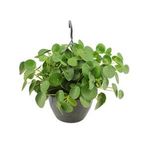 Pilea peperomioides pannenkoekenplant hangplant