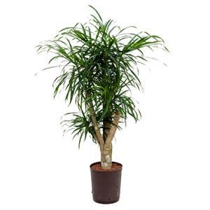 Dracaena pleomele anita M hydrocultuur plant
