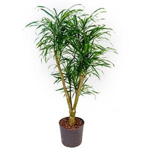 Dracaena pleomele anita L hydrocultuur plant