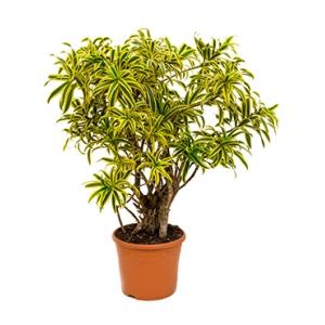 Dracaena Pleomele song of india S kamerplant