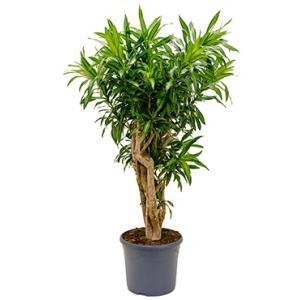Dracaena Pleomele song of jamaica L kamerplant