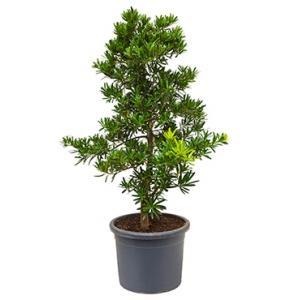 Podocarpus latifolius bush bonsai kamerplant