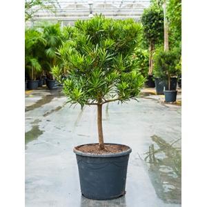 Podocarpus latifolius stam bonsai kamerplant