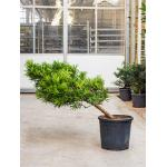Podocarpus macrophyllus cascade bonsai kamerplant