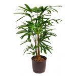 Rhapis palm excelsa M hydrocultuur plant