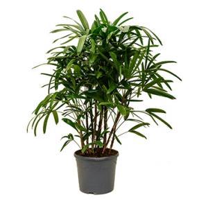 Rhapis excelsa L bamboepalm kamerplant