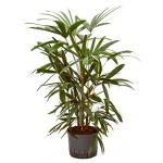 Rhapis palm excelsa L hydrocultuur plant