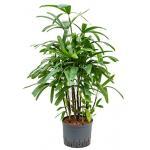 Rhapis palm excelsa extra hydrocultuur plant