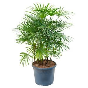 Rhapis humilis bamboepalm kamerplant