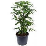 Rhapis multifida bamboepalm kamerplant
