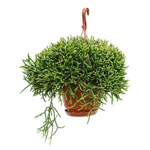 Rhipsalis burchellii hangplant