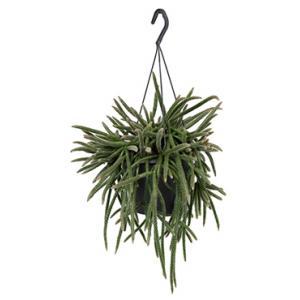 Rhipsalis horrida S hangplant
