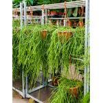 Rhipsalis kirbergii hangplant