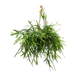 Rhipsalis micrantha hangplant