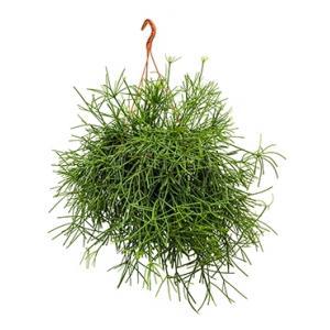 Rhipsalis neves armondii hangplant