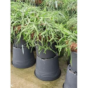 Rhipsalis pentaptera hangplant