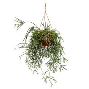 Rhipsalis pilocarpa hangplant