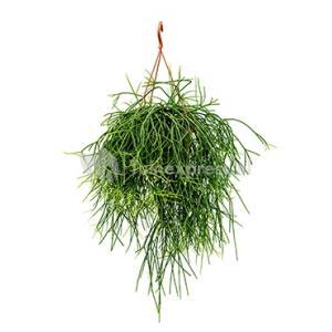 Rhipsalis pulchra M hangplant