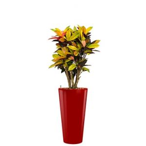 Standard All in 1 Hydrocultuur Croton iceton rond rood