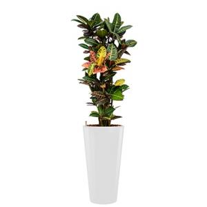 Standard All in 1 Hydrocultuur Croton petra rond wit