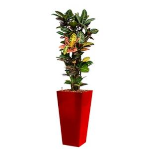 Standard All in 1 Hydrocultuur Croton petra vierkant rood