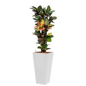 Standard All in 1 Hydrocultuur Croton petra vierkant wit