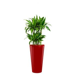 Deluxe All in 1 Hydrocultuur Dracaena arturo rond rood